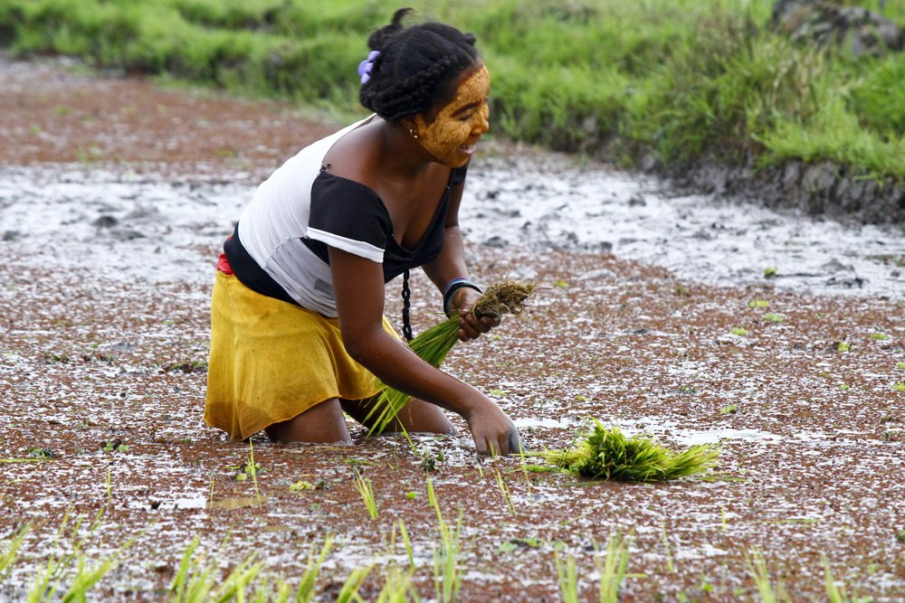 things to see in Madagascar; malagsy woman planting rice into the paddy fields of Madagascar