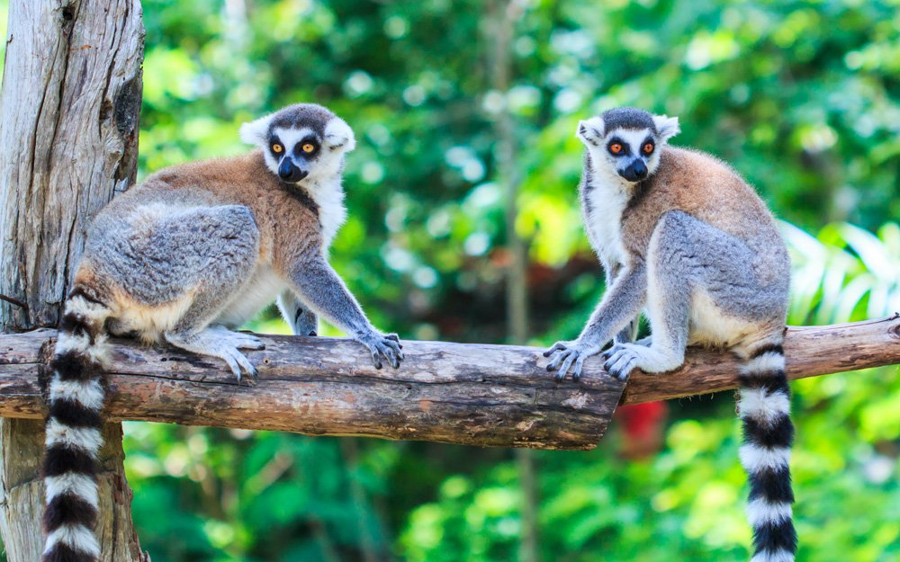things to see in Madagascar; lemurs